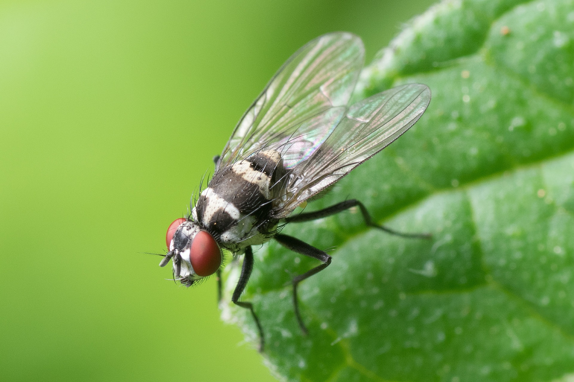 8 common-fly-447307_1920