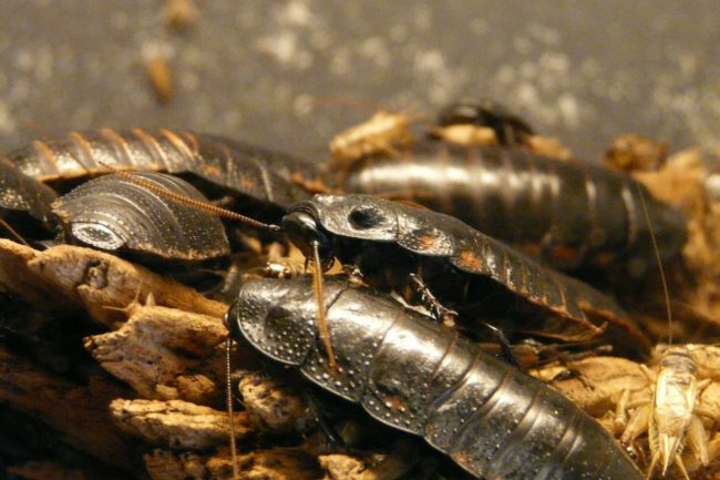 7 giant-hissing-cockroach-77069_1920 (1)